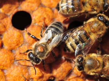 varroa destructor le parasite capable de mimer chimiquement deux esp ces d 39 abeilles. Black Bedroom Furniture Sets. Home Design Ideas