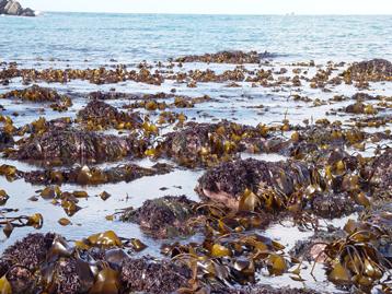 Algues brunes 1