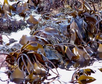 Algues brunes 2