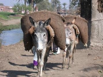 Anes domestiques Egypte