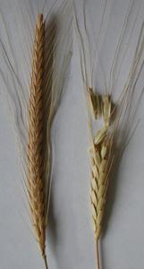 épi de blé 2