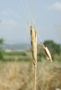 épi de blé 1