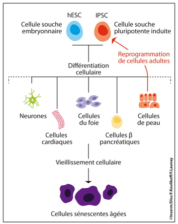 CP_cellules_inserm1