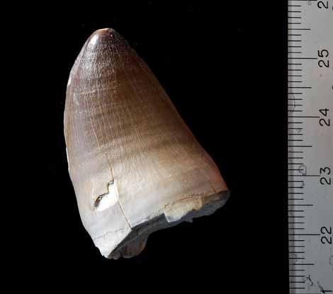 Dent Mosasaure