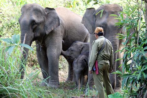 Assurer la survie des éléphants au Laos, une question d'économie