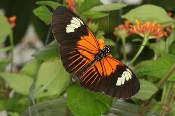 Le papillon Heliconius melpomene vue large