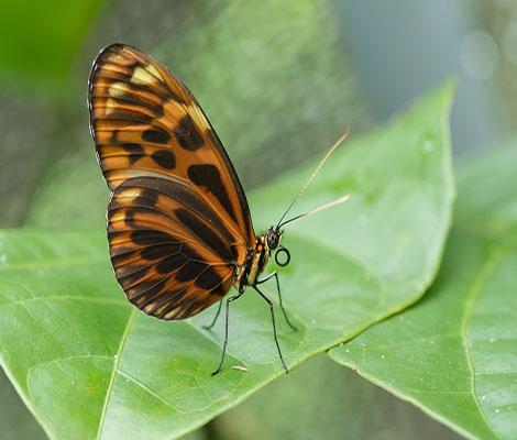 papillon pardalinus