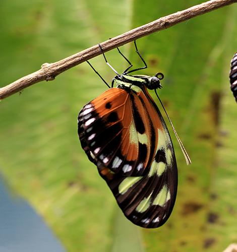 papillon silvana