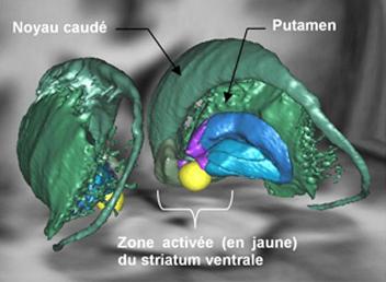 Représentation 3D du système motivationnel (striatum ventral) activé lors d'un effort physique ou mental.