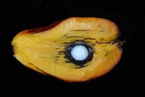 Fruit de palmier ouvert.