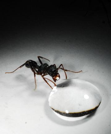 l 39 estomac collectif des fourmis communiqu s et dossiers de presse cnrs. Black Bedroom Furniture Sets. Home Design Ideas