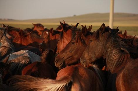 Chevaux domestiques kazakhs modernes