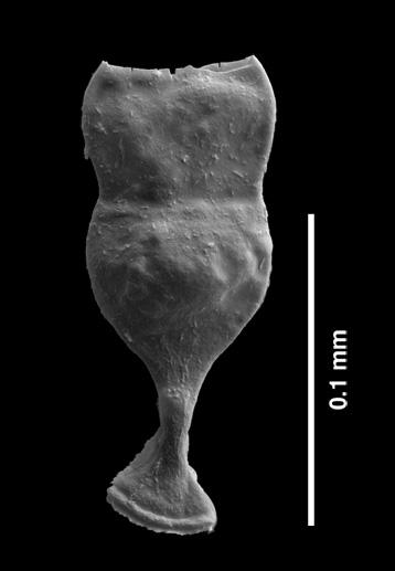Plancton fossile malformé