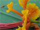 Femelle d'Anospheles coluzzii vecteur majeur du paludisme en Afrique sub-saharienne visitant une fleur de flamboyant