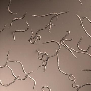 Photo nematode 1