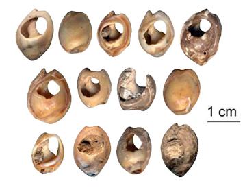 Nassarius gibbosulus de la Grotte des Pigeons