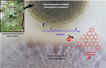 Champignons endophytes