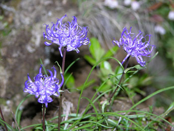 Phyteuma - plante alpine