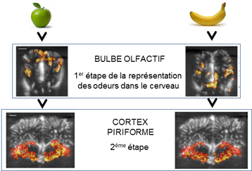Olfaction_Activation cérébrale par imagerie ultrasonore