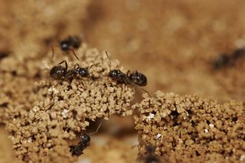 Comment les fourmis s 39 auto organisent pour construire leur nid communiqu s et dossiers de - Comment eradiquer les fourmis ...