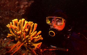 axinella sponge