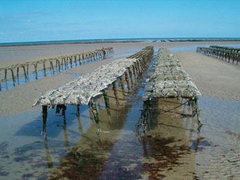 farming oyster