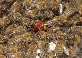 bee mobing