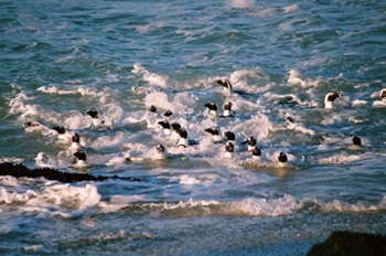African penguins among the waves