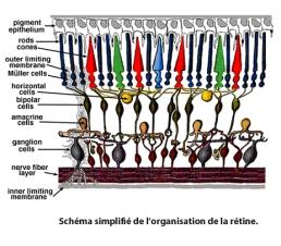 Simple diagrama de la organización de la retina