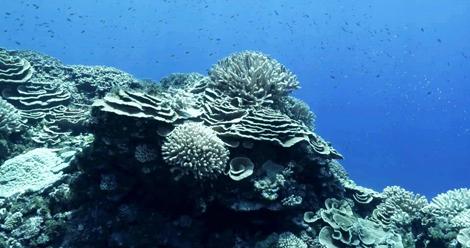 corail bis