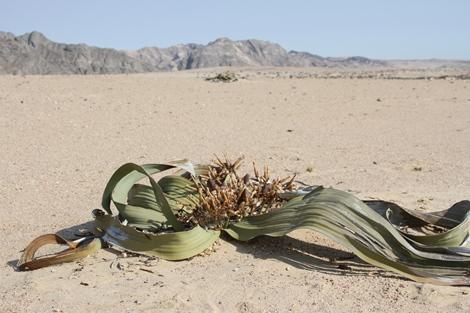 Welwitschia 3