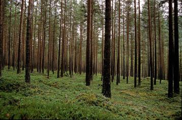 bosques boreales