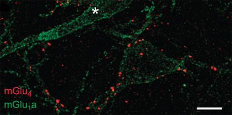amygdala_synapses