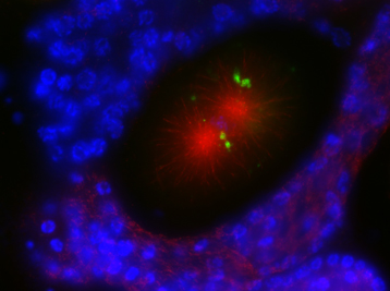 Autophagosomes (green) forming after fertilization to degrade organelles from the sperm during the first divisions of the embryo (mitotic spindle in red).