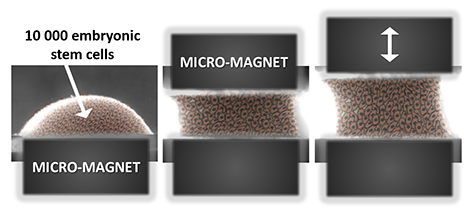 Picture Magnetic cellular