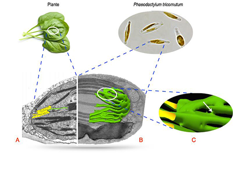 Image diatoms