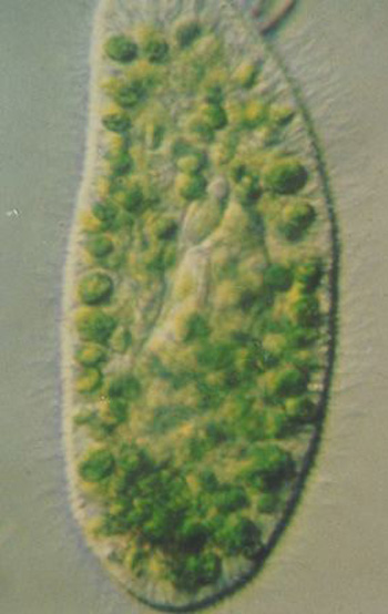 Paramecium in symbiosis with hundreds of Chlorella cells