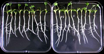 Pon a prueba utilizado para estudiar el efecto de los factores Myc en el desarrollo de las raíces de Medicago truncatula