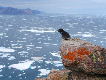 A little auk contemplates the Arctic Ocean