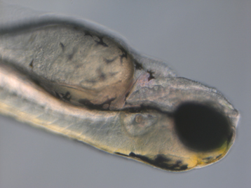 Close-up side view of a 4-day-old zebrafish embryo