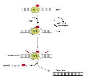 NER (nucleotide excision repair) action mechanism