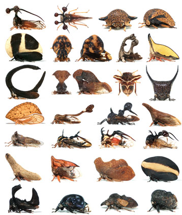 The helmet of Membracidae adopts the most varied shapes in different species of the same Family