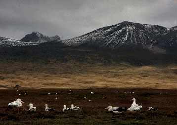 An albatross colony in the Crozet Islands