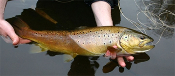 Fario trout, native to Europe