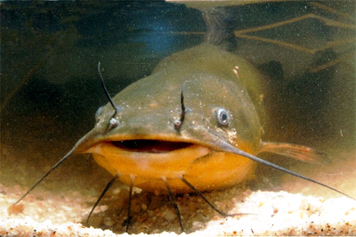 The catfish, native to North America