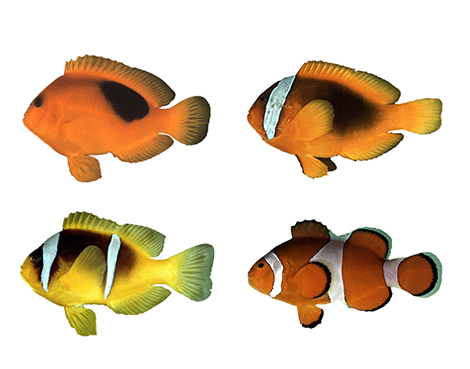 clown fishes 1