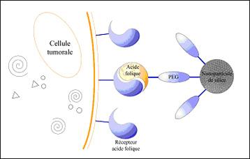 cellules nanoparticules
