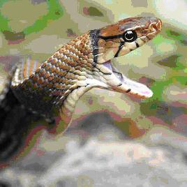 <em> Coelognathus radiata </ em>, una serpiente venenosa colúbrido poco de los bosques tropicales de Asia