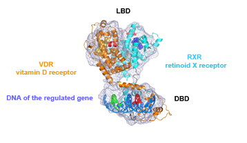 Representation of the 3D architecture of two receptors, VDR and its partner RXR