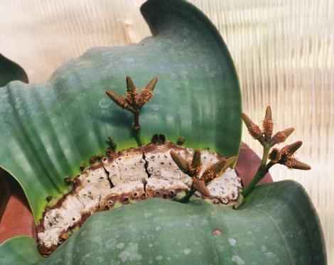Welwitschia 1
